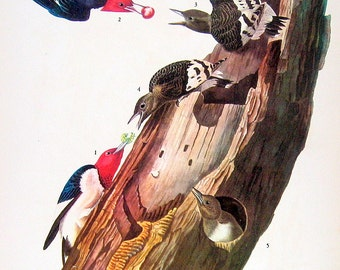 Audubon Birds - Red Headed Woodpecker, Blue Headed Vireo - 1941 2 sided Book Plate with Names and Descriptions