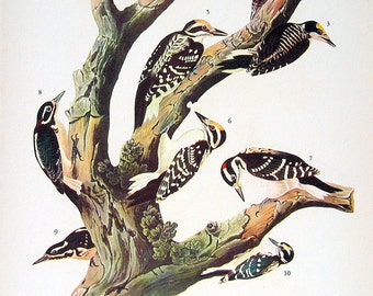 Audubon Birds Print - Two Woodpeckers, Two Ptarmigan  - 1941 2 sided Book Page with Names and Descriptions