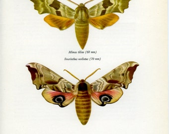 Lime Hawk Eyed Hawk, Vintage Moth Print 123, Prochazka, 1966, Butterfly, Lepidoptera, Natural History, Frameable Art