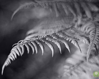 Spring fern photograph - Silver Beauty fine art print, black and white fern photo, springtime, wall decor, new england photography