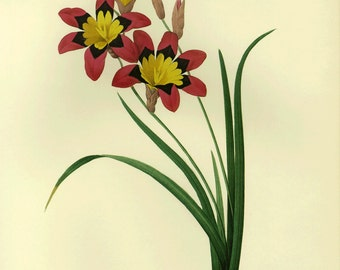 Corn Lily Print by Redoute SALE Buy 3, get 1 free or Buy 5, get 2 FREE