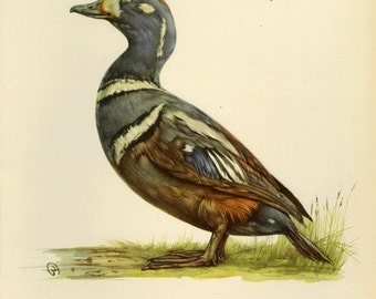 Harlequin Duck Print Book Plate SALE Buy 3, get 1 FREE