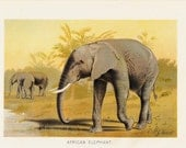 Antique print, 1901 Antique AFRICAN ELEPHANT fine engraving, original antique gorgeous print