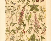 1901 Forest Shrubs and Herbs, Genista, Pulicaria, Pimpernel, Vaccinium, Lingonberry, Houndstongue, Broom, Moschatel, Antique Lithograph