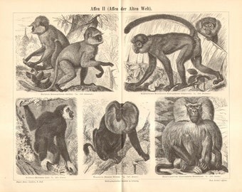 1890 Old World Monkeys, Northern Plains Gray Langur, Lar Gibbon, Lion-tailed Macaque, Savanna Baboon Original Antique Engraving to Frame