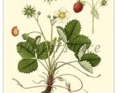 Wild Strawberry - Botanical ART CARD reproduction