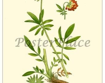 ART CARD Kidneyvetch - botanical print reproduction