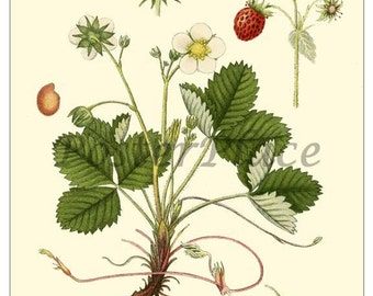 Wild Strawberry - Botanical ART CARD reproduction