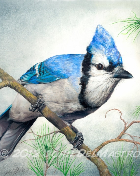 Items Similar To Color Pencil Drawing - Blue Jay Bird Drawing 8 X 10 Fine Art PRINT By John ...