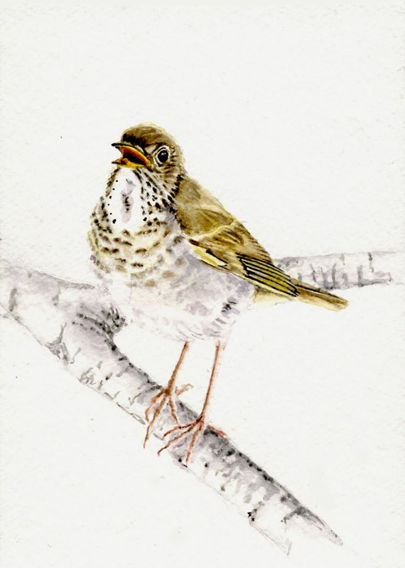 Bicknell's thrush 5x7 original watercolor painting, art & collectibles, original art work earthspalette