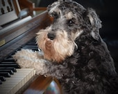 Schnauzer playing piano, Piano Playing Schnauzer - Photography - Music Room Art - Music Teachers Gift - Animal Photography