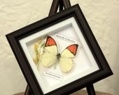 Great Orange Tips, mounted butterfly, insect display, organic, Hebomoia Glaucippe