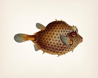 Toothy 1801 Boxfish drawing - 8x10 Fine art print of a vintage natural history antique illustration