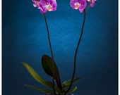 Flowers photography. Phalaenopsis Orchid photography, exotic flowers,home decore,plants,blue,art decore,fine art photography, botany - InkProjectPhoto