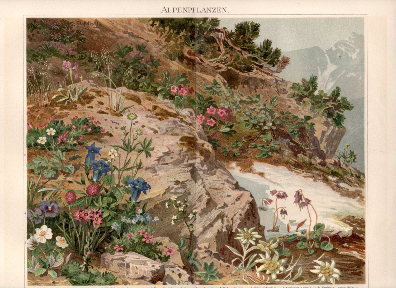 1893 antike botanischen drucken alpine pflanzen. Black Bedroom Furniture Sets. Home Design Ideas