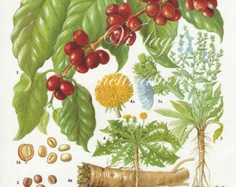 Vintage Botanical Print Antique COFFEE BERRY, plant print botanical print, bookplate art print, berries fruit plants plant wall print