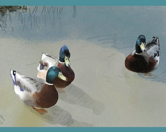 Nature Greeting Card, Blank, Ducks Design No A6025