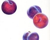 Plums Up PRINT / Plum Art Print / Plum Drawing / Colored Pencil Drawing / Plums Pluots Purple Fruit / Fruit Art Print