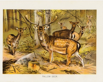 Antique print 1901 Antique FALLOW DEER fine engraving, spectacular deer with large antlers in the forest, original antique gorgeous print