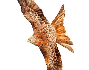 Red Kite - Large fine art print ( 16 x 11 inches) from original watercolour painting