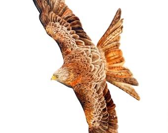 Red Kite - fine art print, bird watercolor, bird of prey, bird painting, bird print, red kite print