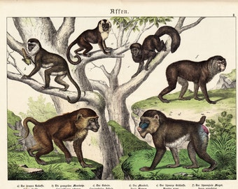 1886 Huge large MONKEY  fine chromolithograph,126 years old print