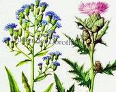 Blue Lettuce Swamp Thistle Flowers Vintage 1950s Botanical Color Lithograph Cottage Garden Art  Print To Frame 195