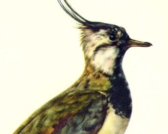 Lapwing Vanellus Vanellus Bird Ornithology Natural History Lithograph Print 1960s Illustration To Frame 48
