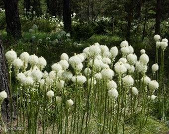 Beargrass, Montana Wildflowers, Forest Lanterns, Xerophyllum tenax, Photograph or Greeting card
