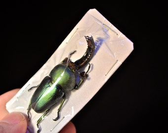 OVERSTOCK: Sawtooth Beetle Males  Real Dried Beetle Insect Unmounted