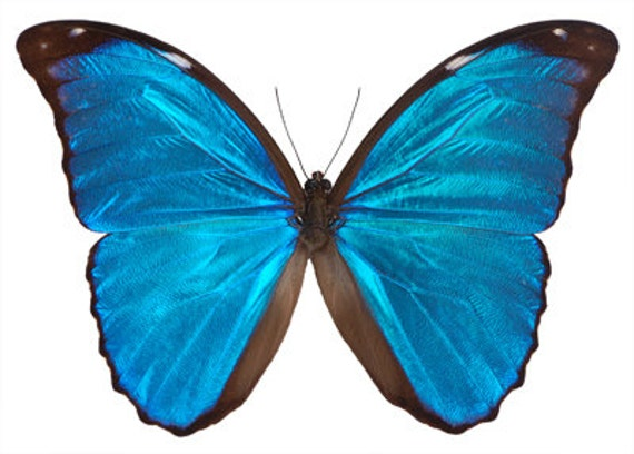 Real Blue Morpho Butterfly, Morpho didius, Spread Ready to Mount