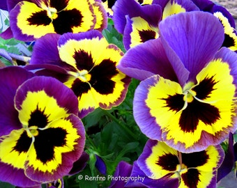 Pansy - Fine Art Print - Floral Photography - Flower Print - Flower Photo - Purple - Home Decor - Wall Art - Photograph - Photo - Renfro