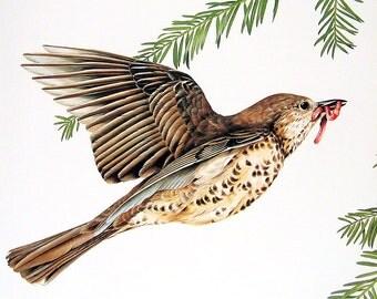 Mistle Thrush, Longtailed Tit - Bird Print - 1976 Vintage Book Page Garden Birds