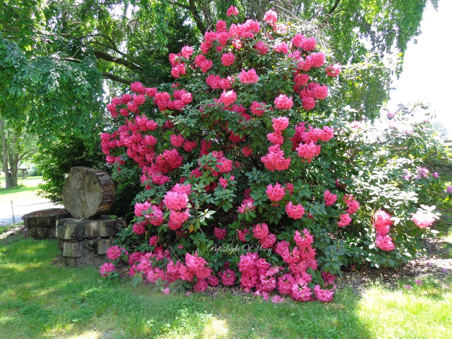 Nature rhododendron woodland tree bush red pink by for Pink flowering shrubs