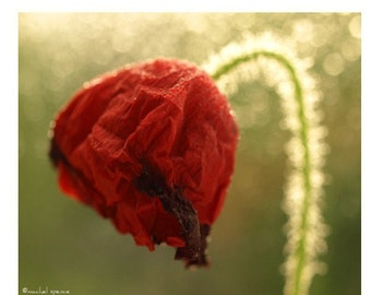 Red Poppy Photographic  Print Botany Red Poppy Decay Woodland Forest Affordable Art Natural Art