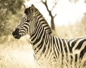 Zebra photo, nature photography, black and white, sepia, baby animal, stripes, neutral, animal print, wildlife, Africa, abstract lines
