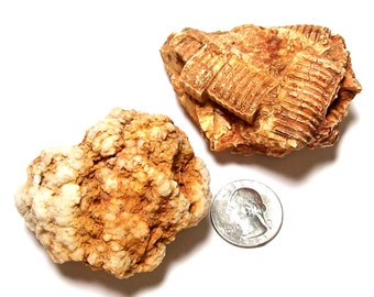 Ancient Crinoid Stems Undrilled Fossils in Matrix Beach Stones Rustic Primitive Rocks Mother Nature Sculptures Naturals Earthy