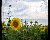 SALE Sunflower Photograph, Yellow, Flower, Green, Nature Photography, Landscape, TtV, Blue Sky, Square Photograph, Clouds