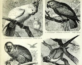 1897 Antique German Back-to-Back Engraving of Parrots - N103