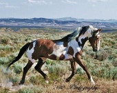 The Dance of Picasso 8x10,wild mustang,Paint Horse,rustic,wild horse