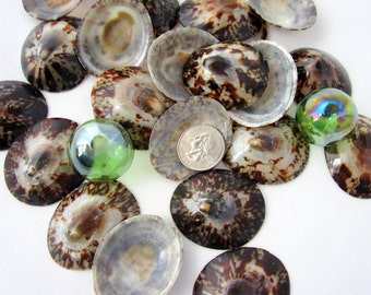 Beach Decor XL Polished Oval Limpet Shells - Nautical Seashells, 4-5cm Brown - 3pc