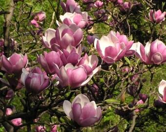 1 soulangeana magnolia