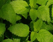 Lemon Balm Bee Friendly Herb Seeds