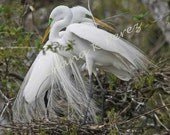 Egrets Photo - Egret Sweethearts