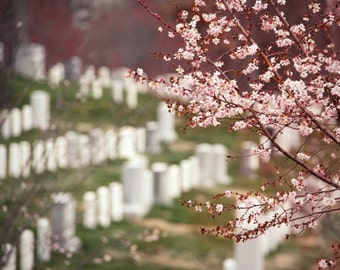 Cherry Blossoms in Arlington National Cemetery - white pink West Virginia