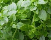 Basil, Greek Basil - Intense Flavor Small Leaves Compact Plants Perfect Potted