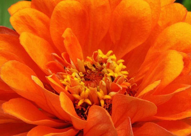 Zinnia Zinnia Zinnia Inca Zinnia Seeds