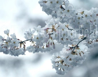 Cool Blossoms, Fine Art Photography, 11 x 14, 8 x 10, 16 x 20, Spring Flowers Soft Gentle Floral Photo Print - White Blue Dreamy Translucent