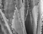 Agave Americana 24x36 : agave photo desert photography succulent black and white home decor fine art print