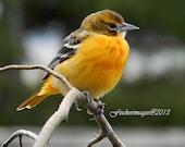 Baltimore Oriole Nature Bird Photo Print Fine Art Photography